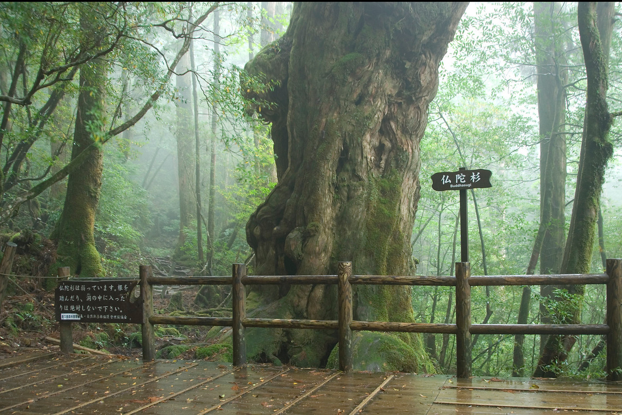 Signs underneath a tree in Yakusugi Cedar Grove in Yakushima, Japan
