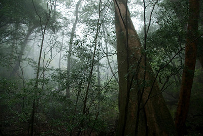 Fog hovering above the tree branches and canopy in Yakushima, Japan