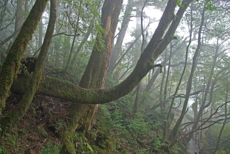 Detailed shot of moss covered branches in Yakushima, Japan