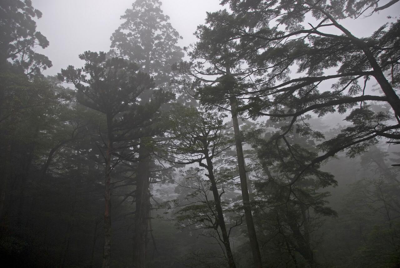 Fogs at the canopy in Yakusugi Cedar Grove in Yukoshima, Japan