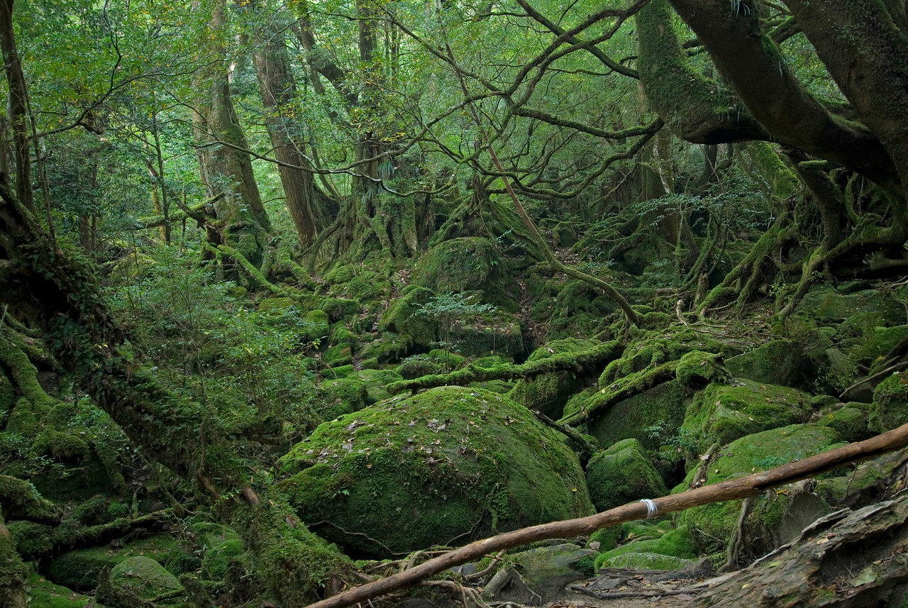 Princess Mononoke Grove in Shiratani Unsuikyo - Yakushima, Japan