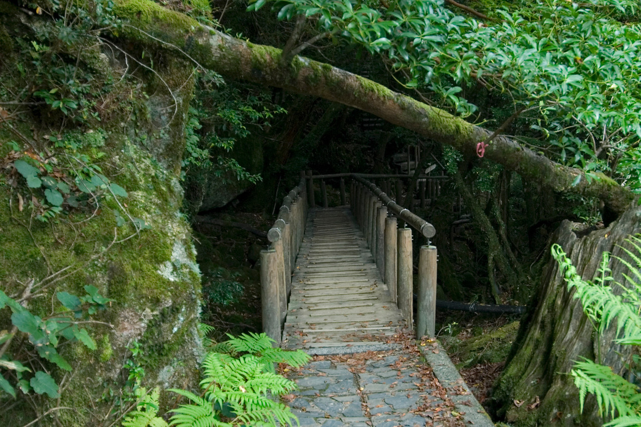 Bridge underneath a thick canopy in Yakushima, Japan