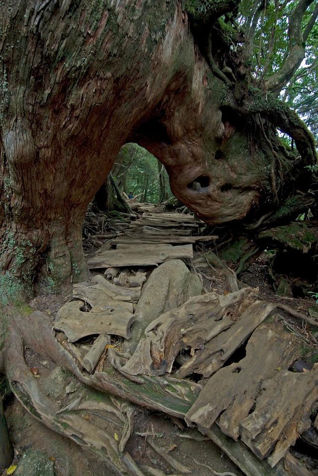 A path beneath a huge tree trunk in Yakushima, Japan