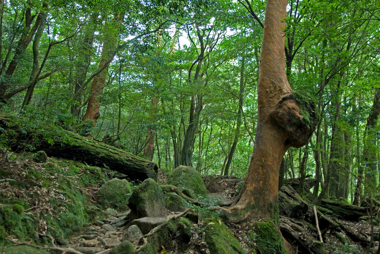 Shot of lush forest inside Shiratani Unsuikyo in Yakushima, Japan