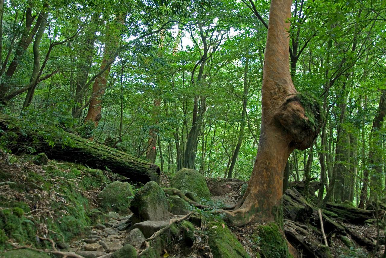 Shot of lush forest inside Shiratani Unsuikyo in Yakushima, Japan