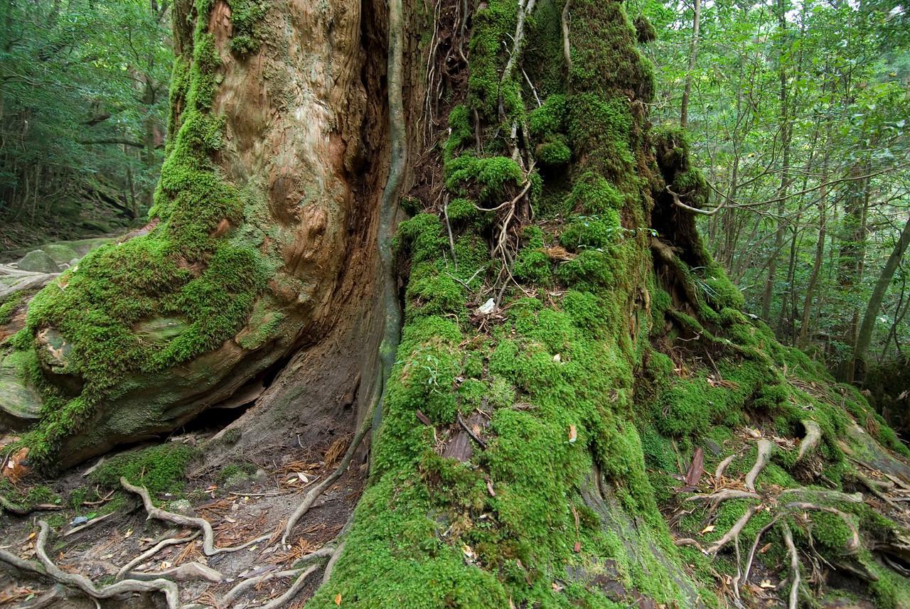 Close-up look of moss covering tree trunks in Shiratani Unsuikyo in Yakushima, Japan