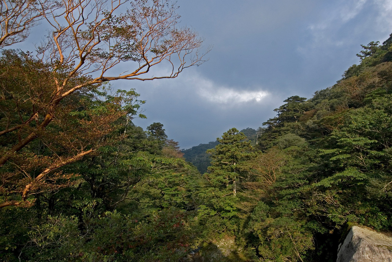 Beautiful clear sky above the forest canopy in Shiratani Unsuikyo - Yakushima, Japan