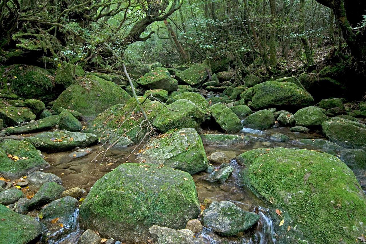 Moss covered rocks in the creek at Shiratani Unsuikyo in Yakushima, Japan