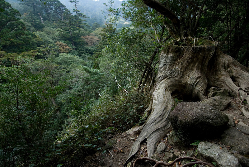 Overlooking view of the forest in Shiratani Unsuikyo in Yakushima, Japan