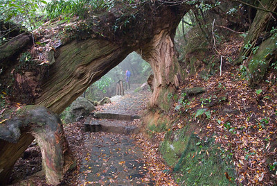 Large tree branch blocking the path at Shiratani Unsuikyo in Yakushima, Japan