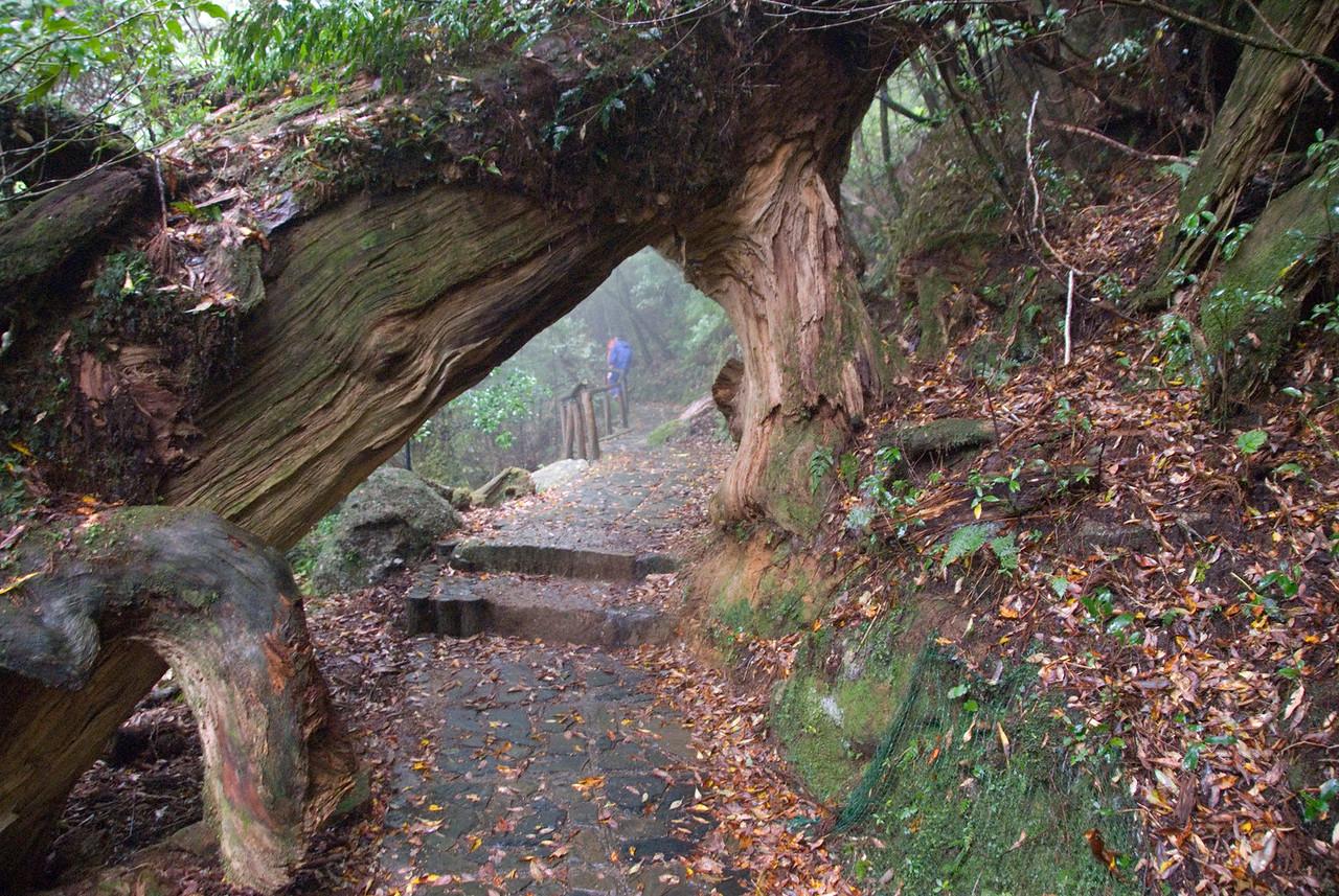 Large tree branch blocking the path at Shiratani Unsuikyo in Yakushima, Japan
