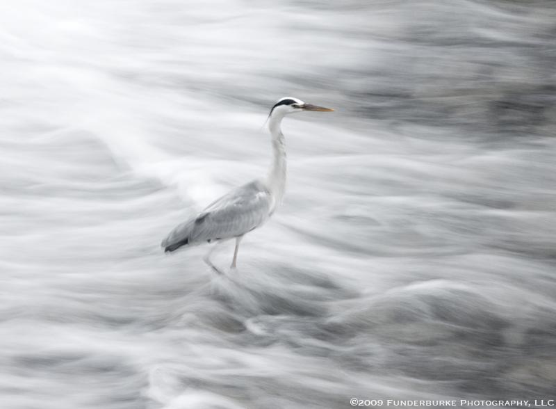 Heron, Takayama River, Japan