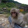Baby snow monkey likes the camera