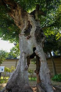 Living hollow tree
