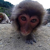 Snow monkey close-up
