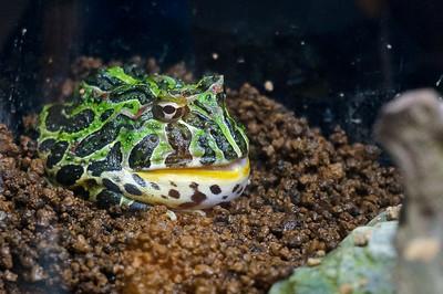 Bull frog, Ueno Zoo