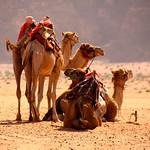 Bedouin Camels – Wadi Rum, Jordan – Photo