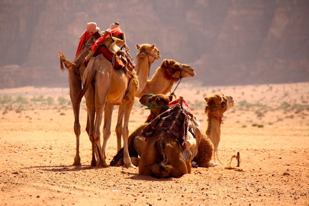 Bedoin Camels - Wadi Rum, Jordan - Photo