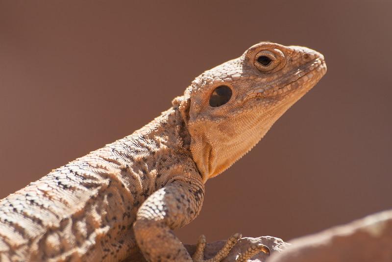 Lizard, Petra
