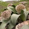 Ka 1571 Allium karataviense