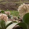 Ka 1575 Allium karataviense