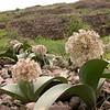Ka 1574 Allium karataviense