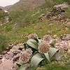 Ka 1566 Allium karataviense