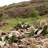 Ka 1573 Allium karataviense