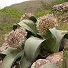 Ka 1570 Allium karataviense