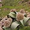 Ka 1569 Allium karataviense