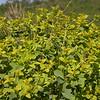 Kz 0665 Euphorbia macrorhiza