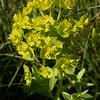 Kz 0924 Euphorbia spec