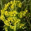 Kz 0925 Euphorbia spec