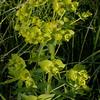 Kz 0923 Euphorbia spec