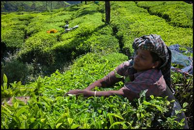 Tea picker, Munnar