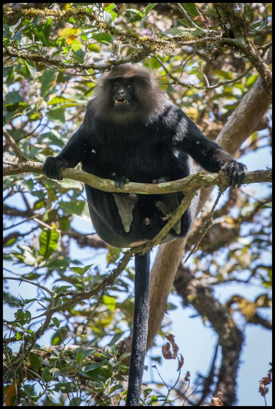 Nilgiri langur, Periyar wildlife sanctuary