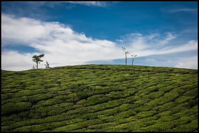 Tea plantations near Pattumallay tea factory