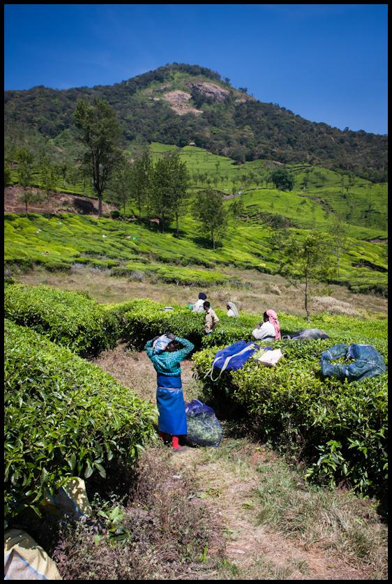 Tea plantation, Munnar hills