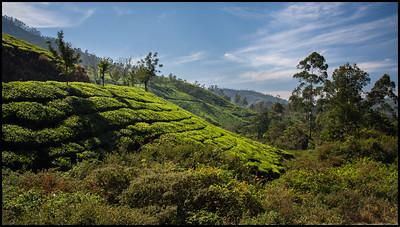 Tea plantations in the Munnar hills