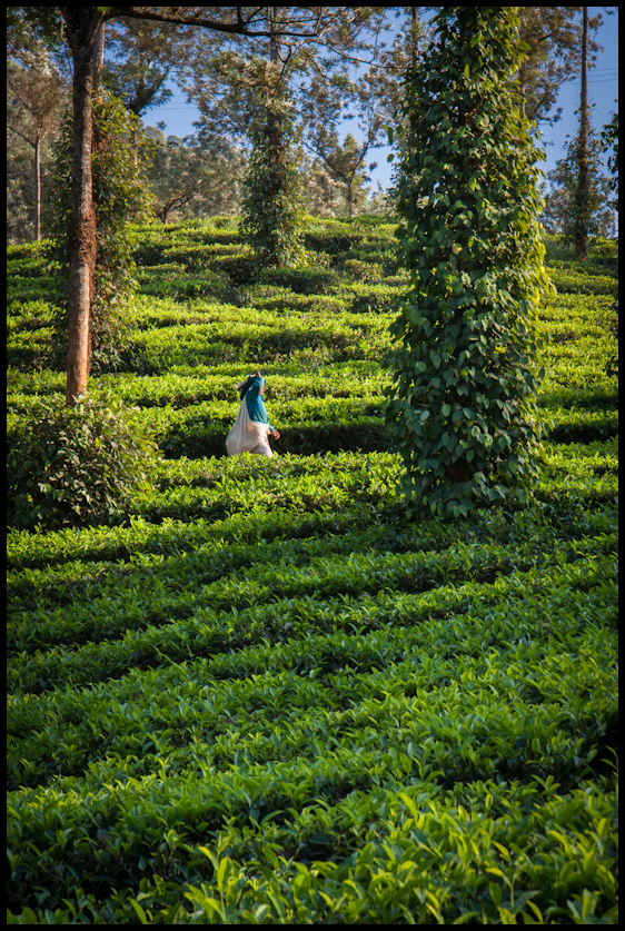 Tea and pepper plantation, Thekaddy