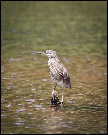 Indian pond heron, Periyar wildlife sanctuary
