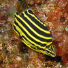 Footballer, Stripey, Microcanthus strigatus<br /> ID thanks to Dr. Koh Dong-Bum