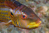 Cocktail Wrasse, Pteragogus flagellifer<br /> ID thanks to Dr. Koh Dong-Bum
