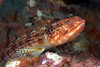 Red Lizardfish, Synodus variegatus<br /> ID thanks to Dr. Koh Dong-Bum