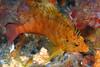 Hawkfish, Curlyfin, Cirrhitichthys aureus<br /> ID thanks to Dr. Koh Dong-Bum