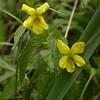 Kz 1639 Viola acutifolia
