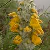 Kz 1647 Phlomoides (Eremostachys) speciosa