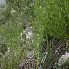 Kz 3926 Allium caesium