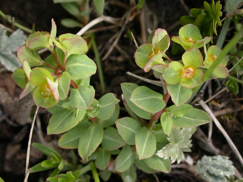 Kz 4276 Euphorbia alatavica