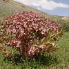 Kz 3144 Euphorbia ferganensis